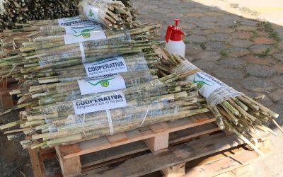 Cooperativa doa cerca de 15 mil mudas de Capiaçu